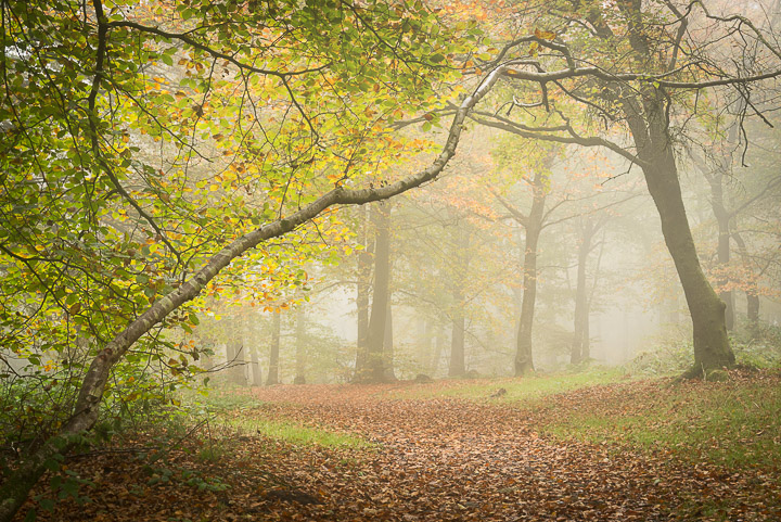 Beacon Hill Wood - Nr Shepton Mallet, Somerset, UK. ID 808_1281