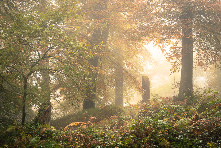 Beacon Hill Wood - Nr Shepton Mallet, Somerset, UK. ID 808_1289