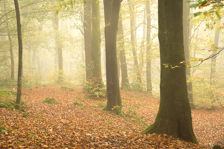 Beacon Hill Wood - Nr Shepton Mallet, Somerset, UK. ID 808_1318