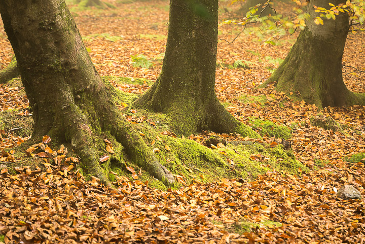 Beacon Hill Wood - Nr Shepton Mallet, Somerset, UK. ID 808_1334