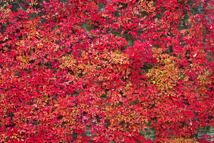 Autumn Wall - Templecombe, Somerset, UK. ID DSC_0567