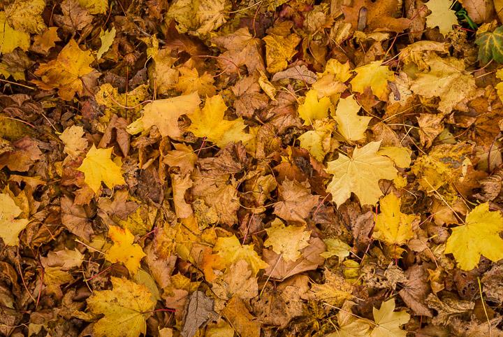 Autumn Litter - Compton Pauncefoot, Somerset, UK. ID DSC_0603