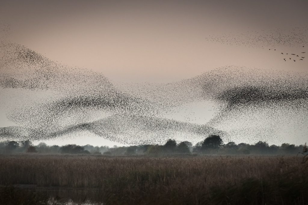 Waves of starlings descend into the Loxtons reed bed.