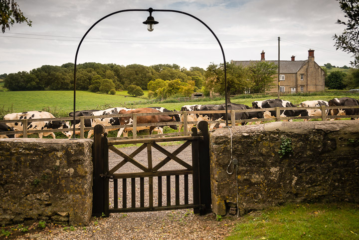 Holy Cows - St James Church, Milton Clevedon, Somerset,, UK. ID 804_7883