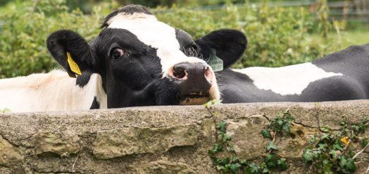 Nosey Cow - St James Church, Milton Clevedon, Somerset,, UK. ID 804_7887