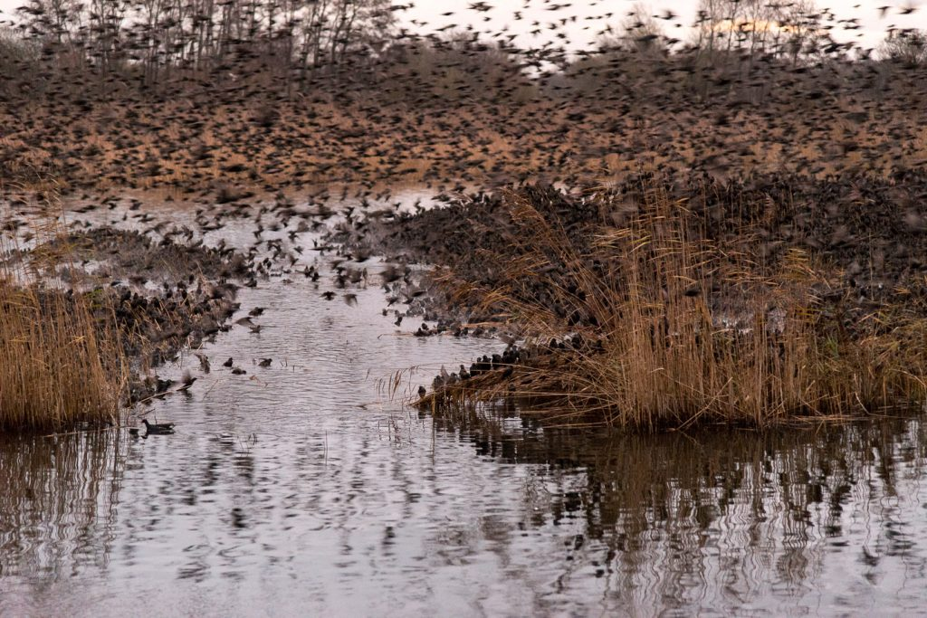Deep in the starling roost from the Tor View hide