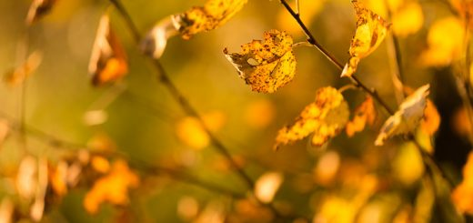 Golden Leaves - Ham Wall, Somerset, UK. ID 808_2084