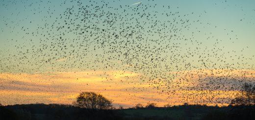 Starlings Arrive - Loxtons Marsh, Ham Wall, Somerset, UK. ID 808_2174