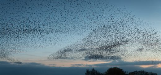 Starlings at Loxtons Marsh - Ham Wall, Somerset, UK. ID 808_2550