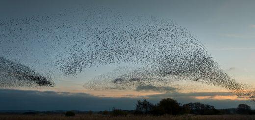 Starlings at Loxtons Marsh - Ham Wall, Somerset, UK. ID 808_2556