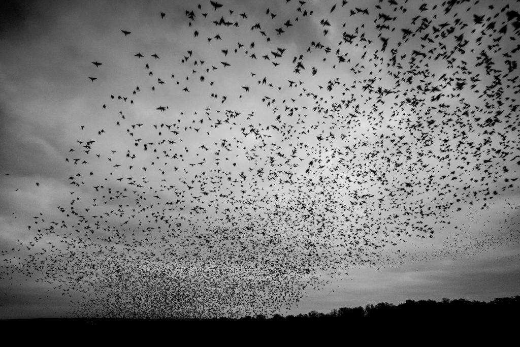 Starlings Explode from the Reeds