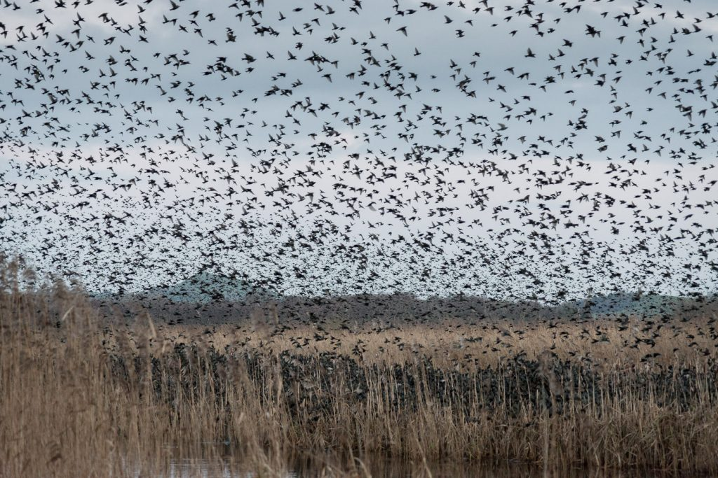 Starlings turn the reed bed black