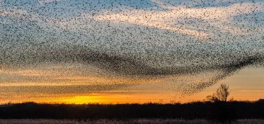 Starling evening visit - Shapwick Heath, Somerset, UK. ID DSC_7554