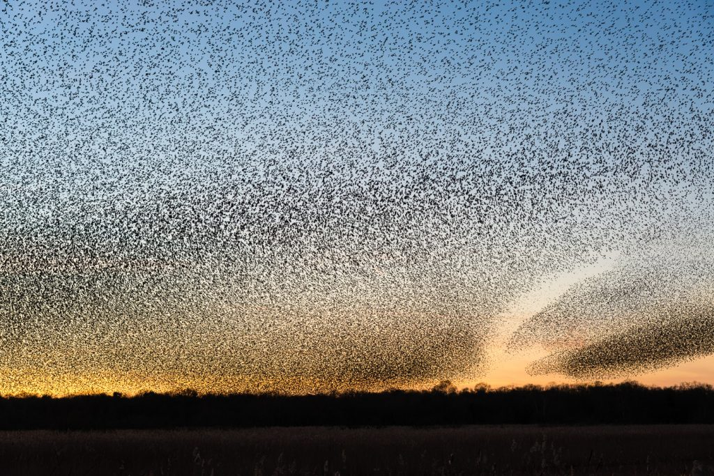 Starling Murmuration at the Avalon Marshes
