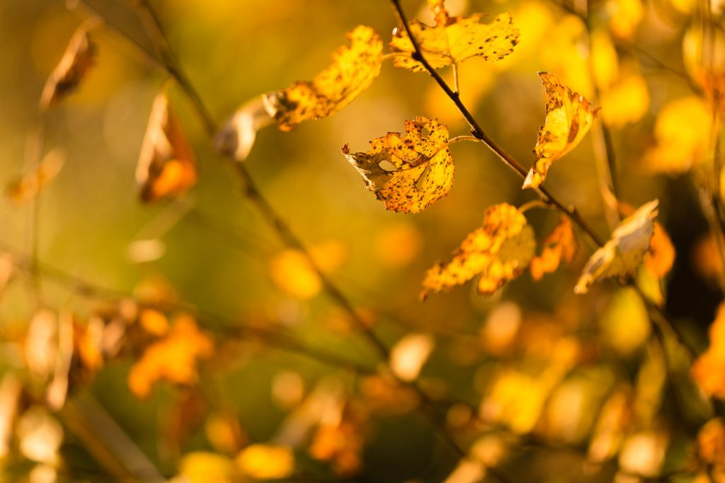 Golden Leaves - Ham Wall, Somerset, UK. ID 808_2084