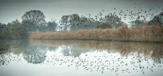 Starlings at Loxtons Marsh on Ham Wall