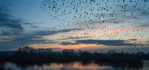 Starlings at Waltons West - Ham Wall, Somerset, UK. id 808_6738