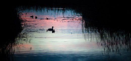Starlings at Dawn on Waltons Heath - Ham Wall, Somerset, UK. ID 808_6947