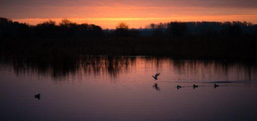 Starlings at Dawn on Waltons Heath - Ham Wall, Somerset, UK. ID 808_7420