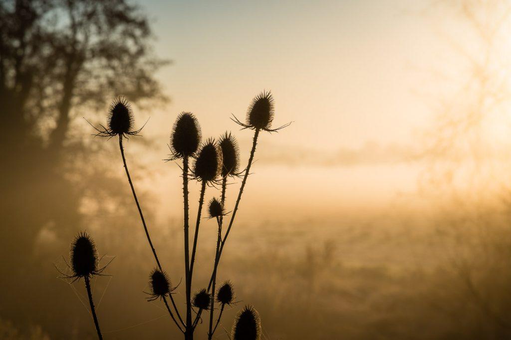 Teasel (Dipsacus) - Queens Sedge Moor, Somerset, UK. ID 809_0243