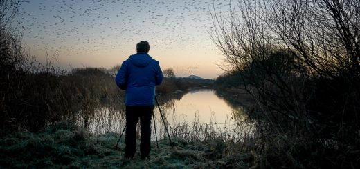 Starlings leave Waltons East - Ham Wall, Somerset, UK. ID 809_0640