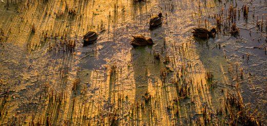 Golden Ducks - Waltons Heath, Ham Wall, Somerset, UK. ID 809_0750