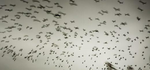 Starlings at Ham Wall - Somerset, UK. ID 809_1616