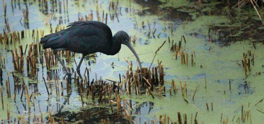 The glossy ibis (Plegadis falcinellus) at Ham Wall