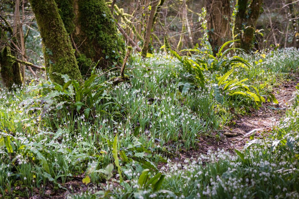 Snowdrops Path - Mells, Somerset, UK. ID 800_9143