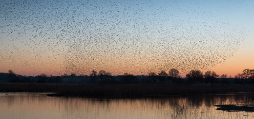 Starlings at Ham Wall - Somerset, UK. ID 809_4874