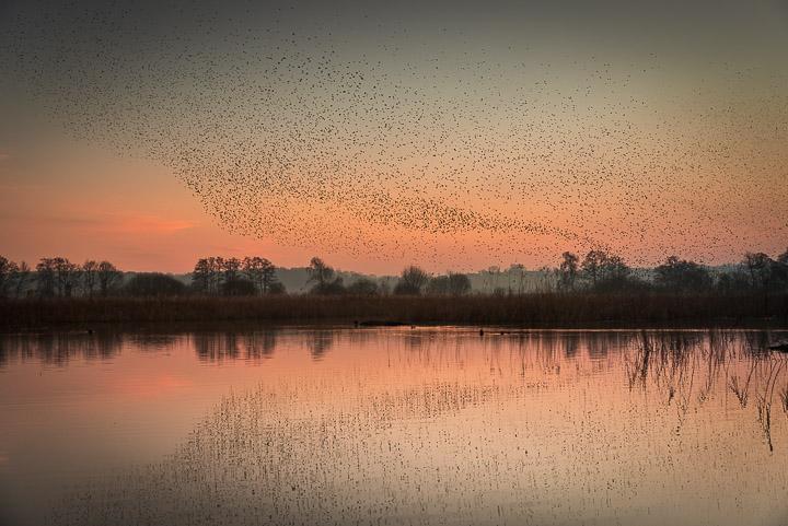 Starlings in Waltons Heath - Ham Wall, Somerset, UK. ID 809_5858