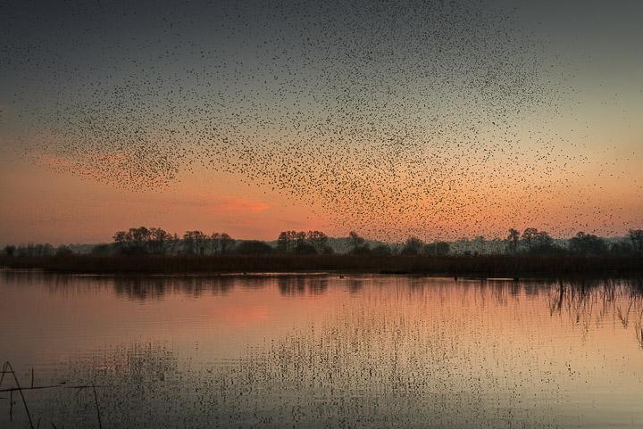 Starlings in Waltons Heath - Ham Wall, Somerset, UK. ID 809_6044