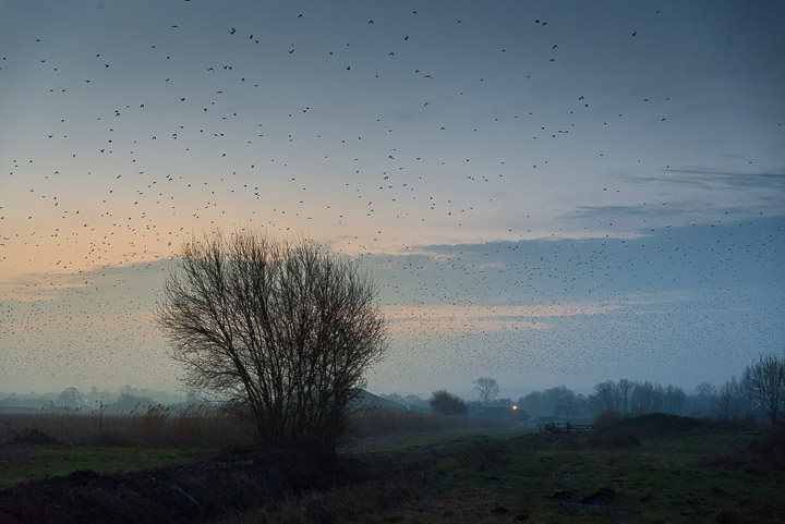 Starlings leave Loxtons - Ham Wall, Somerset, UK. ID 809_7519