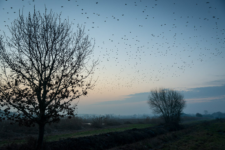 Starlings leave Loxtons - Ham Wall, Somerset, UK. ID 809_7612