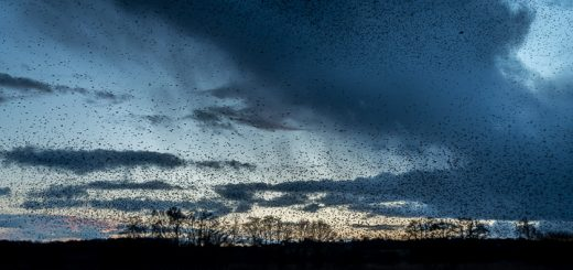 Starlings arrive at Ham Wall - Somerst, UK. ID 809_8016