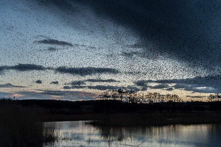 Starlings arrive at Ham Wall - Somerst, UK. ID 809_8035