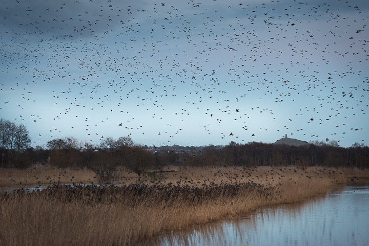 Starlings arrive at Ham Wall - Somerst, UK. ID 809_8152
