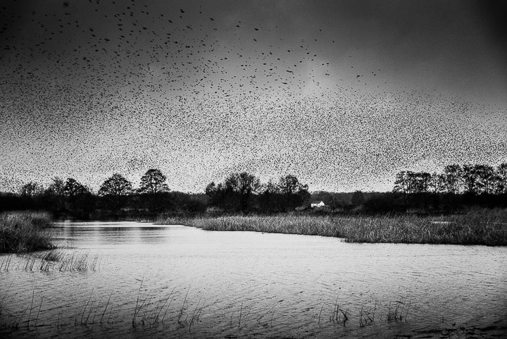 Starlings in bad weather - Ham Wall, Somerset, UK. ID 809_8372