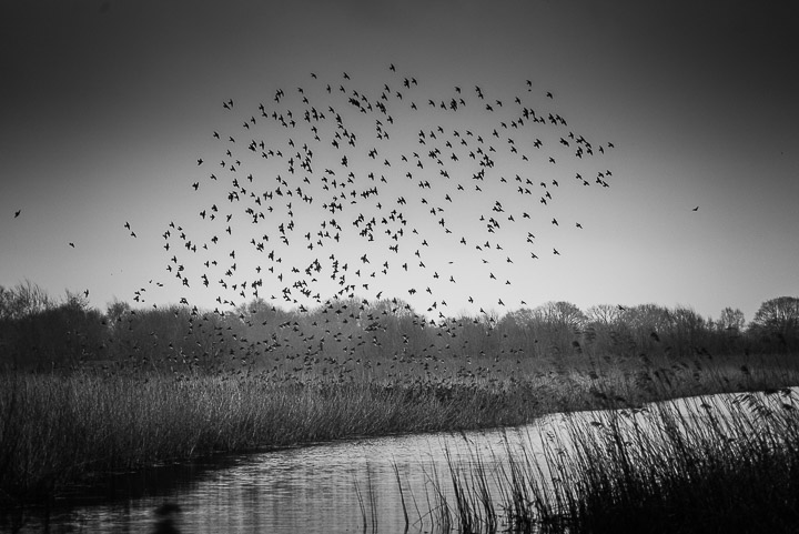Starlings in bad weather - Ham Wall, Somerset, UK. ID 809_8413