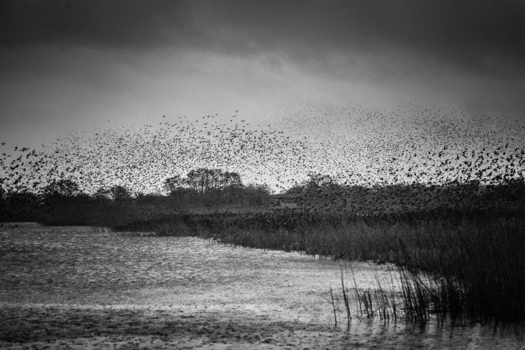 Starlings in bad weather - Ham Wall, Somerset, UK. ID 809_8714