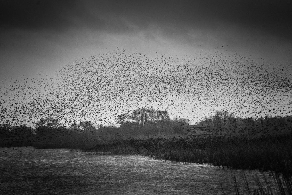 Starlings in bad weather - Ham Wall, Somerset, UK. ID 809_8733