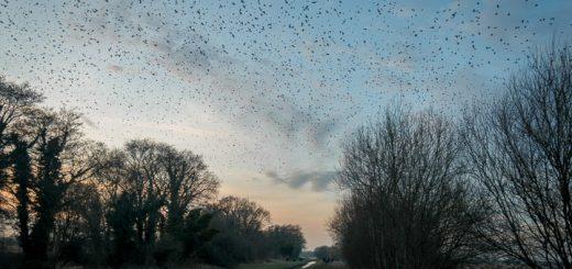 Starlings over Ham Wall - Somerset, UK. ID 809_9227