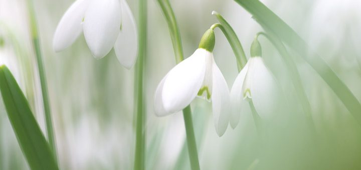 Snowdrops - Mells, Somerset, UK. ID 809_9536