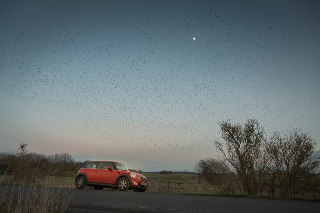 Red Mini Starlings - Shapwick Heath, Somerset, UK. ID 804_0824