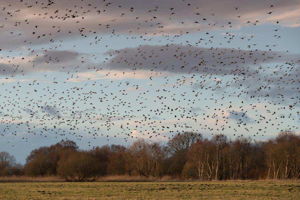 Starlings - Shapwick Moor, Somerset, UK. ID 804_1077