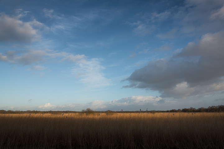 Starlings Flock - Shapwick Heath, Somerset, UK. ID 809_0122
