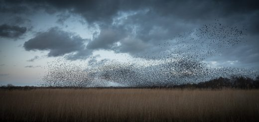 Starlings Flock - Shapwick Heath, Somerset, UK. ID 809_0425
