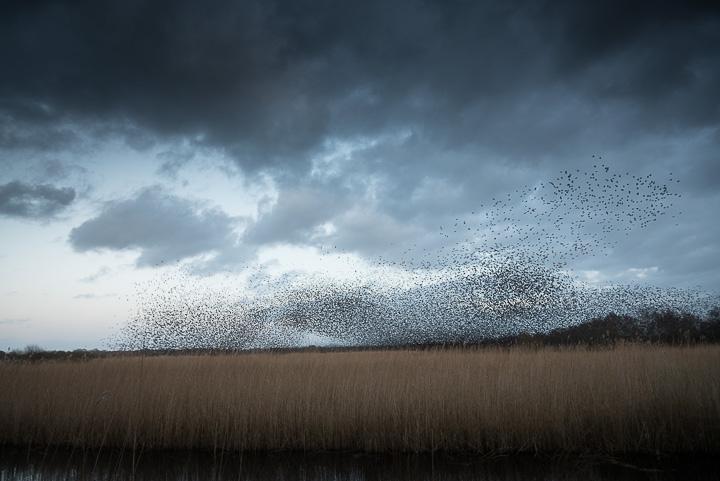 Starlings Flock - Shapwick Heath, Somerset, UK. ID 809_0425