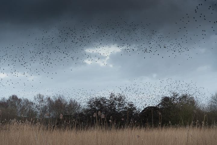 Starlings Flock - Shapwick Heath, Somerset, UK. ID 809_0534
