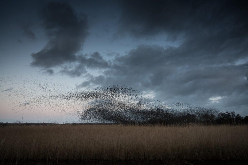 Starlings Flock - Shapwick Heath, Somerset, UK. ID 809_0585